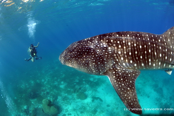 whale shark encounter in cebu philippines - savedra dive center